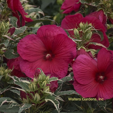 Hibiscus 'Summer Carnival' pp