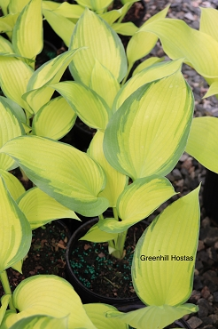 Hosta Blazing Hot   NEW 2021