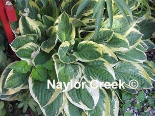 Hosta Frosted Frolic
