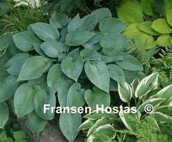 Hosta Fulda     NEW 2021