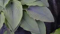 Hosta Holar Mystic Purple