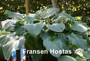Hosta Lakeside Maverick     NEW 2021