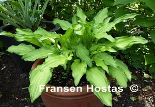 Hosta Spring Lace