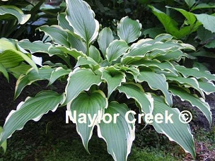Hosta Louie Louie