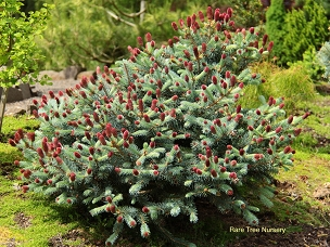 Picea pungens 'Ruby Teardrops'