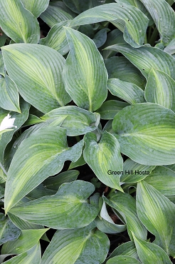 Hosta Pull of the Moon  NEW 2021