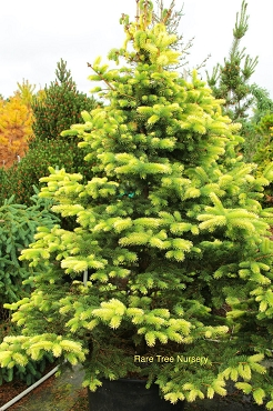 Picea pungens 'Colonial Gold'
