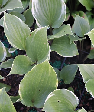 Hosta Sugar Cookie