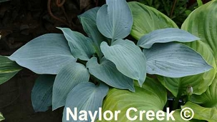 Hosta Blue Curacao