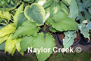 Hosta Valley's Red Scorpion
