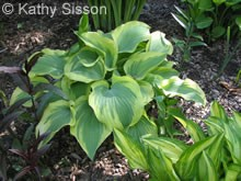 Hosta Citation
