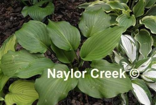 Hosta Ebony Towers