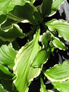 Hosta Ginsu Knife
