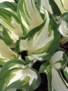 Hosta Loyalist     NEW 2021