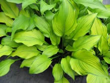 Hosta Smooth Sailing
