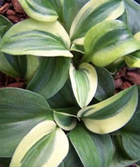 Hosta Funny Mouse