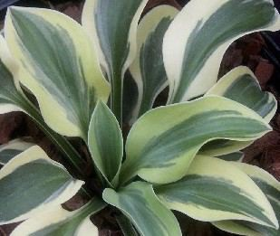 Hosta Lucky Mouse EUPBR