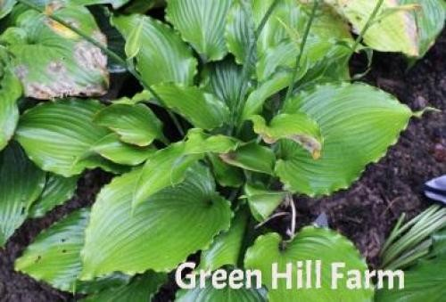 Hosta Petticoat Junction