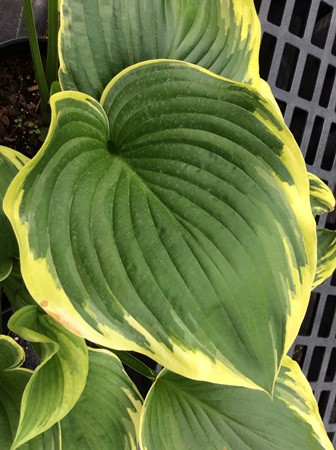 Hosta Light Ray