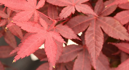 Acer pictum 'Rhode Island Red'