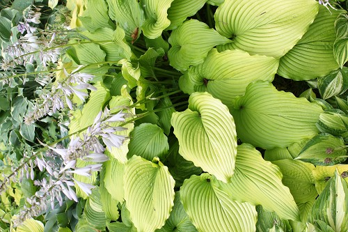 Hosta Golden Falls