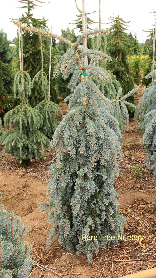 Picea pungens 'The Blues'