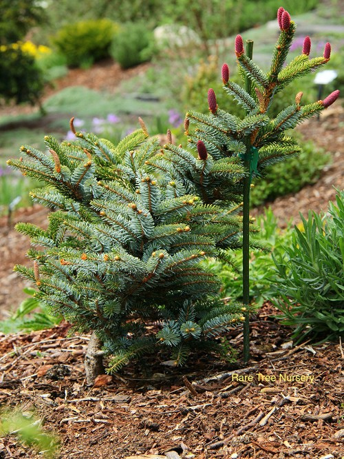 Picea jezoensis 'Howell's Dwarf'