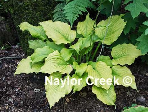Hosta Sherlock     NEW 2021
