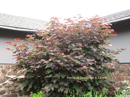 Cercis canadensis 'Burgundy Hearts'